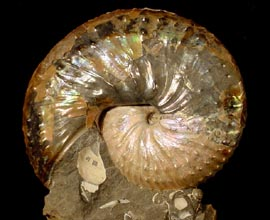 Discoscaphites