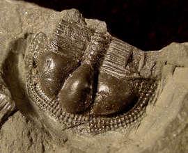 Salterolithus carataci