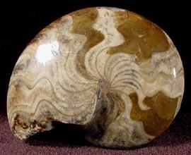 Sporadoceras